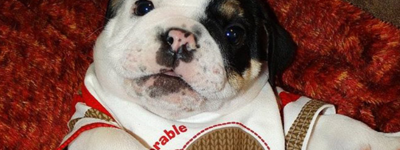 Bonsai The Bulldog