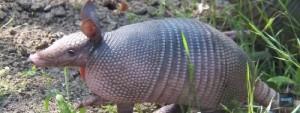 armadillo leprosy